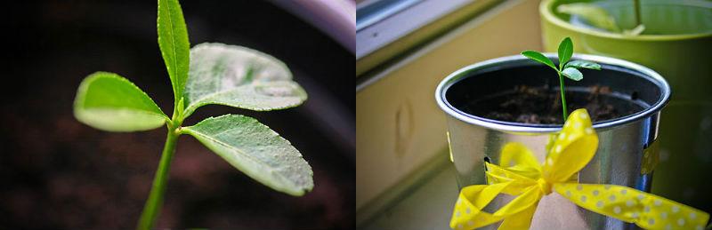 dyrkning af citrontræ