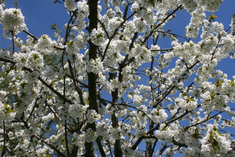 kirsebær Stella morel - blomster i Maj måned