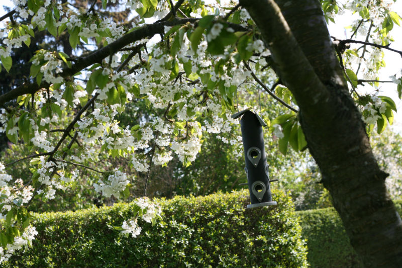 kirsebær stella moreltræ
