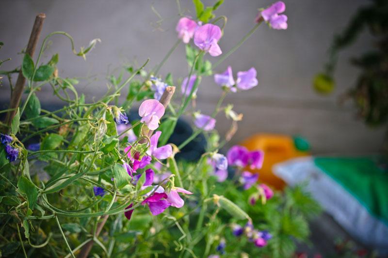 flotte lilla og blå ærteblomster