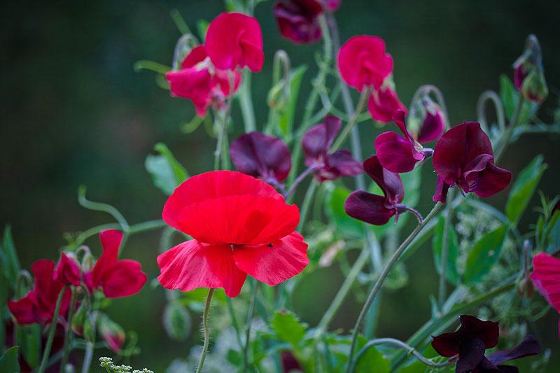 ærteblomster i mørk rød og bordeaux