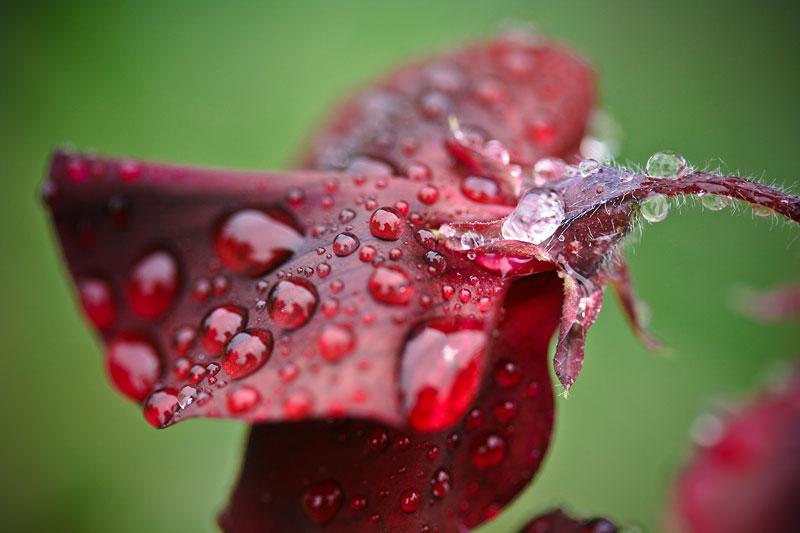 røde ærteblomster med vanddråber