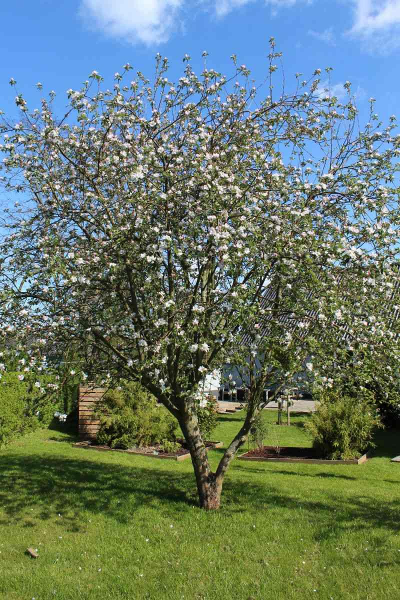 Filippa æbletræ i blomst