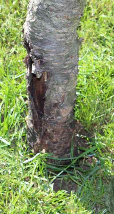 Moreltræ med skade på stamme