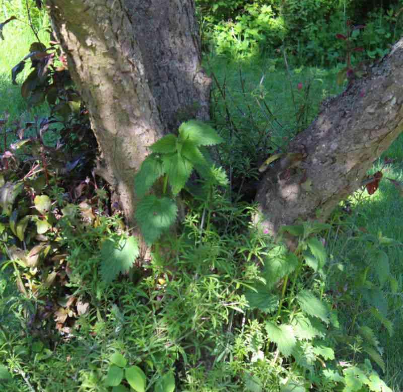 Ukrudt omkring træ kan også være smukt