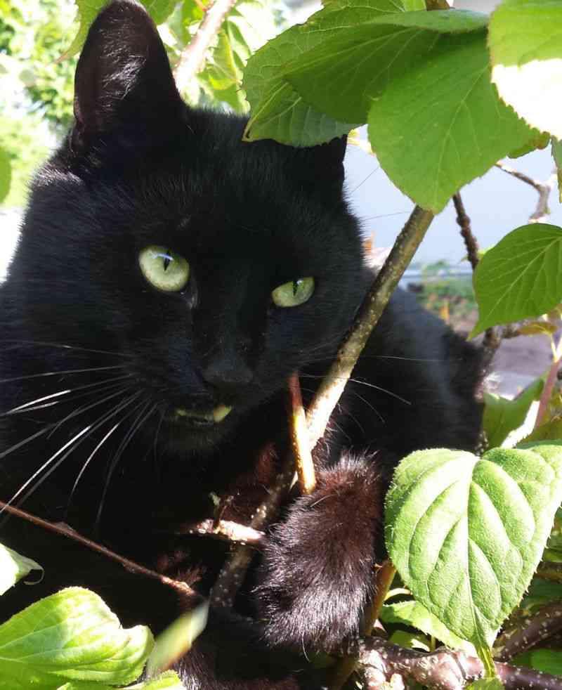Kat tygger i Kiwi plante