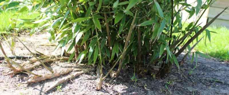 Phyllostachys nigra - nye skud