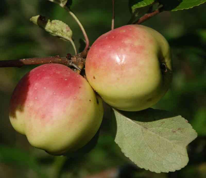 Filippa æble