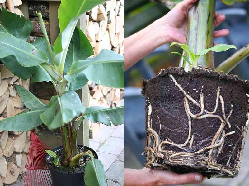 bananpalme blade rodnet og skud