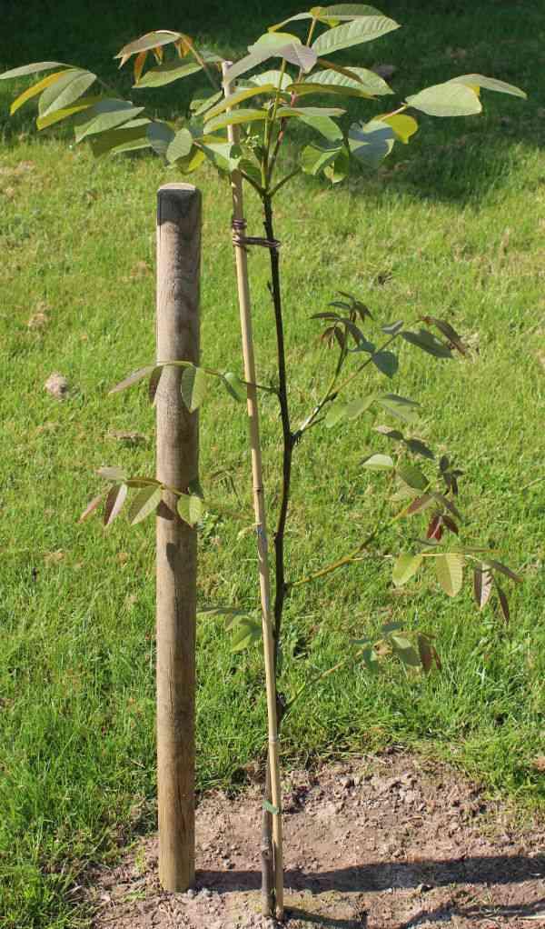 Geisenheim 139 valnød træ - Så lille og alligevel dannes der nødder.