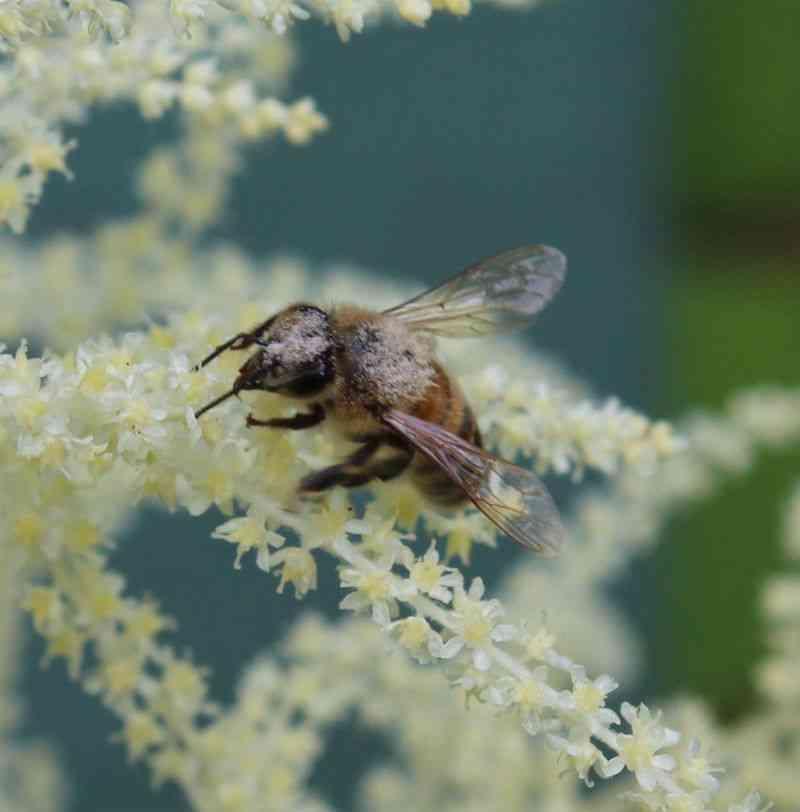 Bi i paradis (Blomster på fjerbusk)