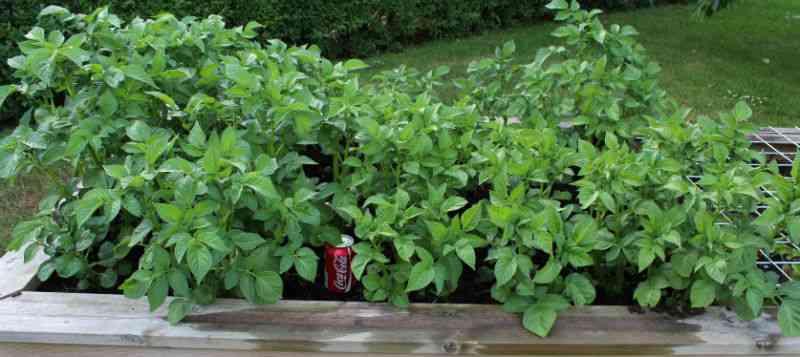 folva kartofler i højbed