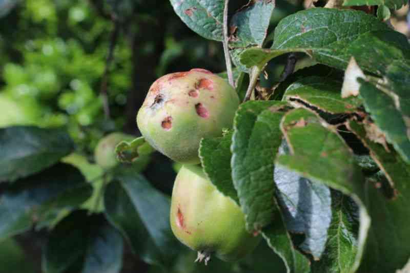 Filippa æble ramt af hagl i Juni måned 2014