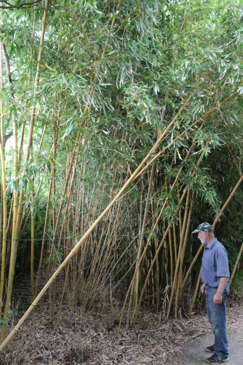 Peter Hansen ved en af havens mange bambus (Dog ikke Phyllostachys Nigra)