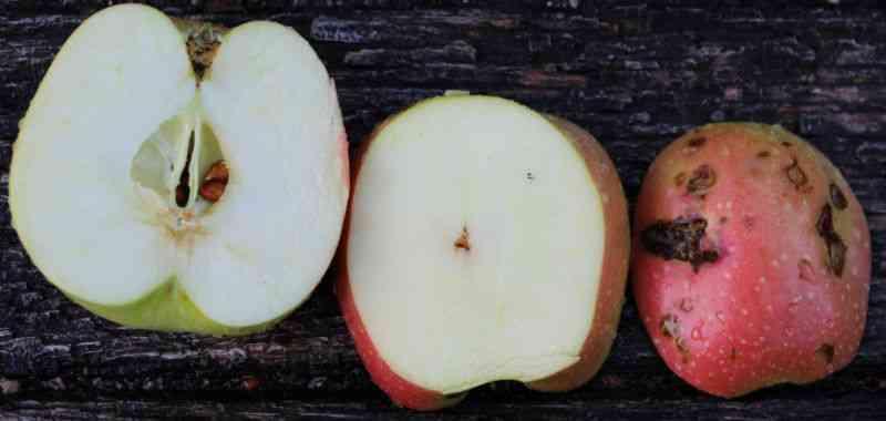 Modent Filippa æble med haglskader