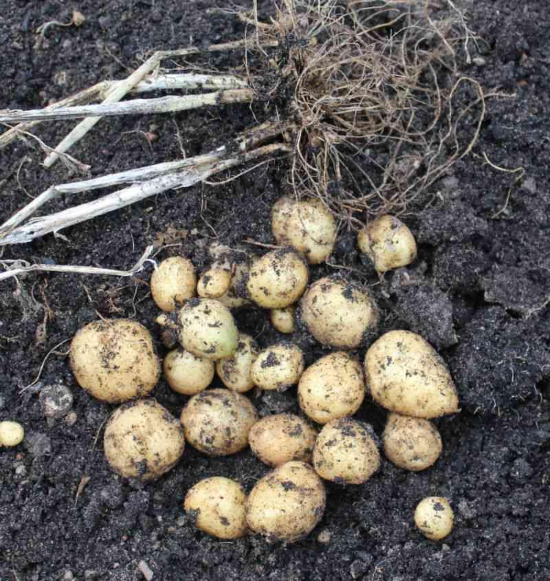 2014: Årets sidste nye Folva kartoffel
