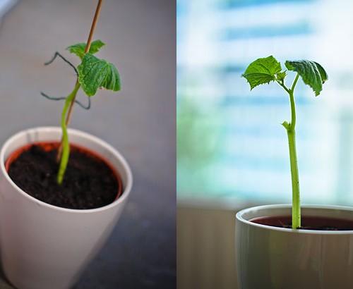 skoleagurk plante