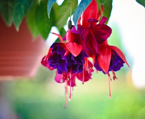 fuchsia blomster