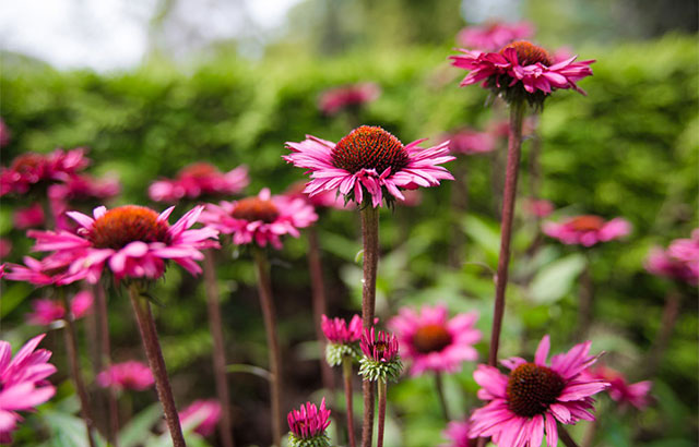 purpursolhat echinacea purpurea rød