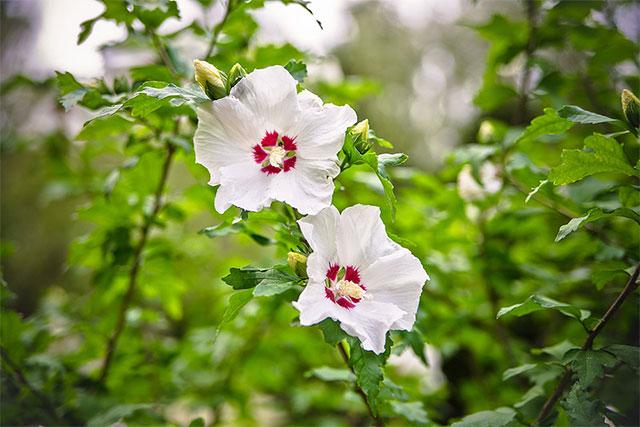hvid syrisk rose