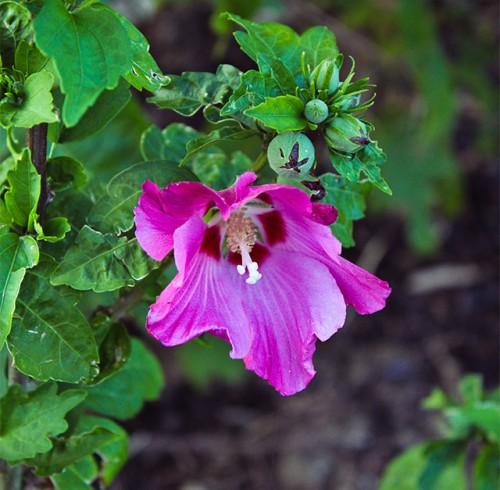 syrisk rose i lilla