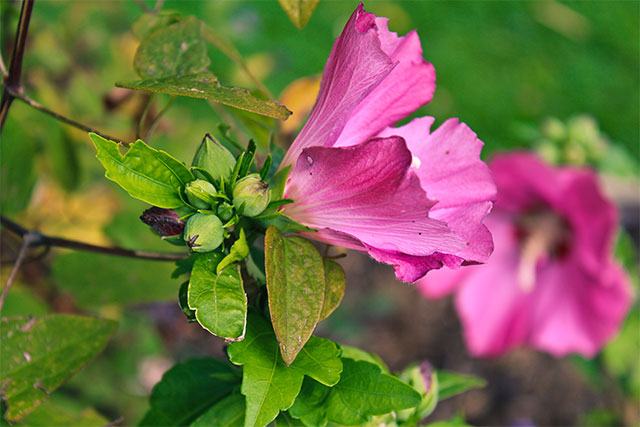 lyserød syrisk rose med blomsterknopper