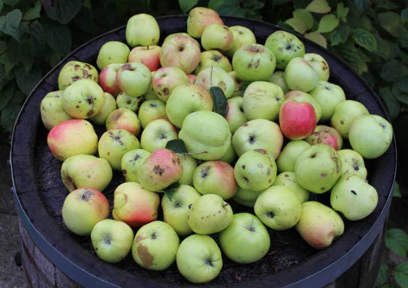 Filippa æbler som skal i Saftkoger