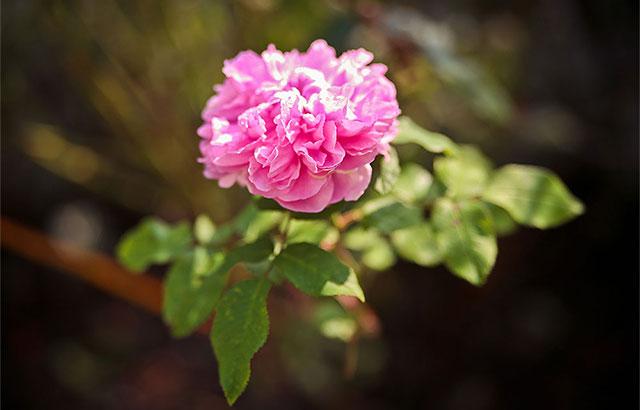 lyserød rose frilandsmuseet