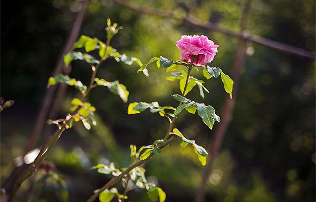 blomstrende rose på frilandsmuseet