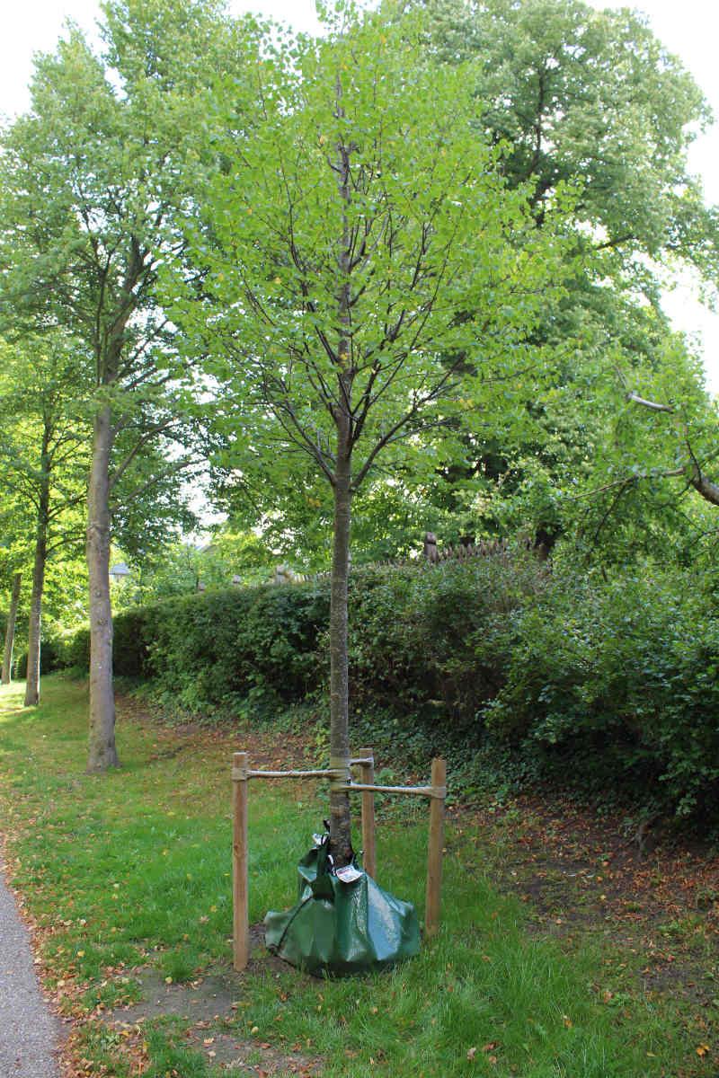 Allé træ i Fredensborg. Støtter placeret lavt. Bemærk sæk/pose med vand