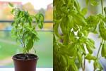basilikum plante