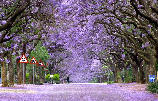 Jacaranda træ: at dyrke et eksotisk lilla træ i danmark