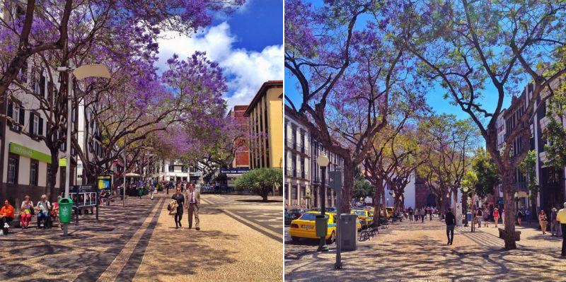 Jacaranda træer på Madeira
