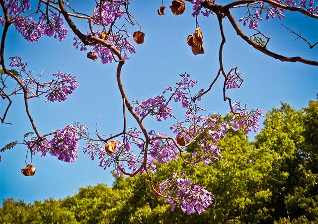 lilla jacaranda træ