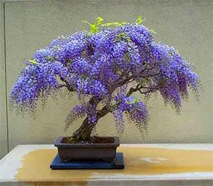 lilla bonsai træ