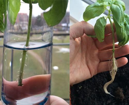 regrow basilikum