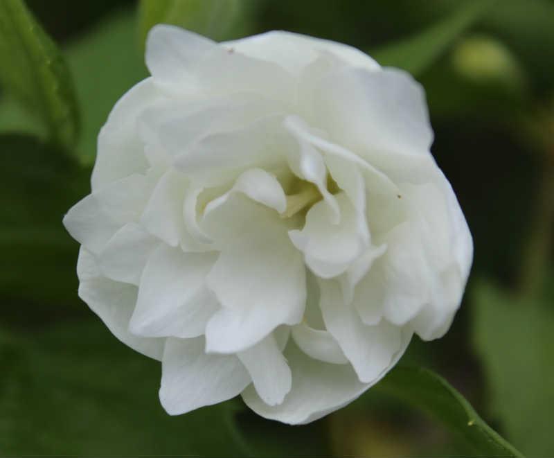 Falsk Jasmin, blomst