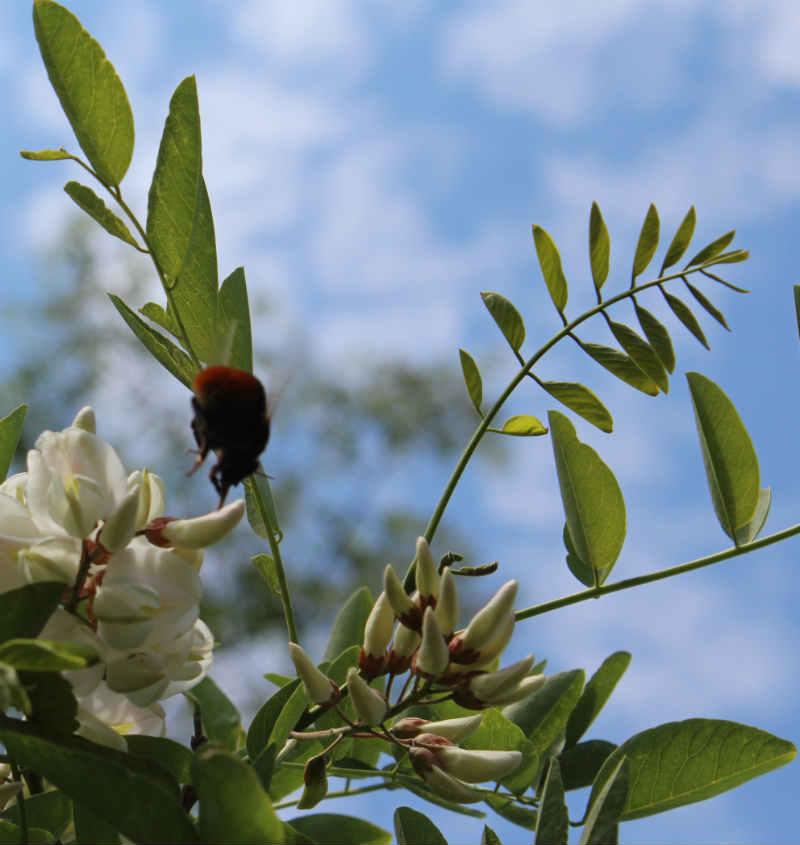 Robinia blade og blomster (og brombasse)