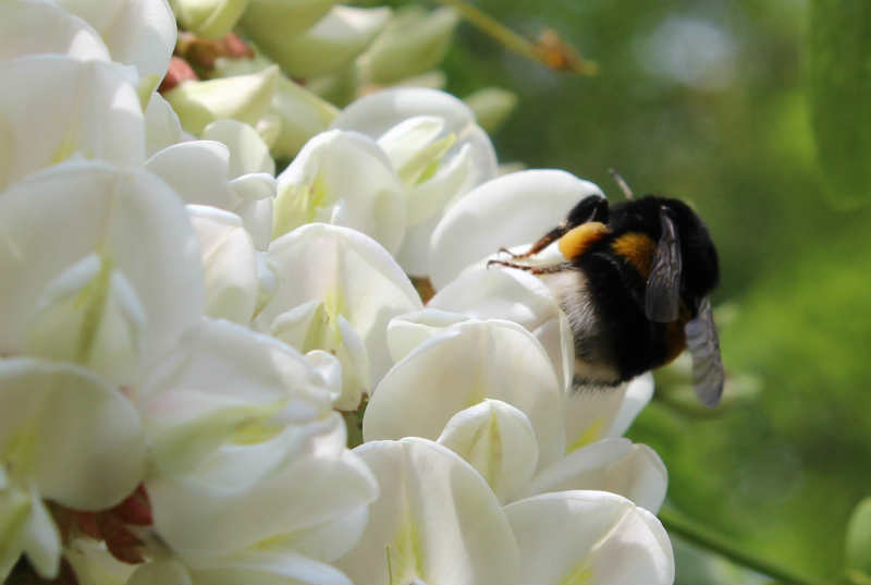 Robinia blomster og brombasse