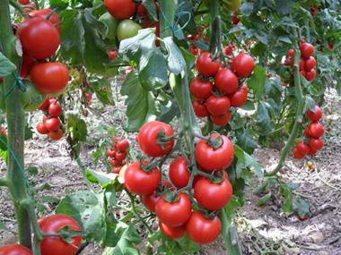 tomat_klaser