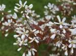 Bærmispel blomster