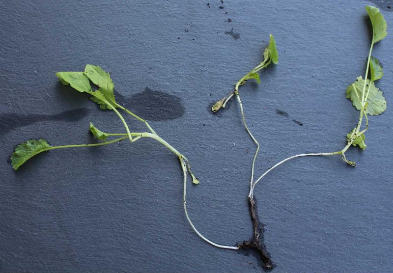 45 dage gammel Broccoli plante - alt er tyndt som sytråd