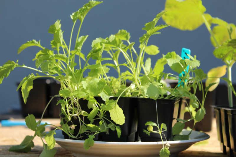 Broccoli omplantning d. 19/4 (1,5 måned efter såning)