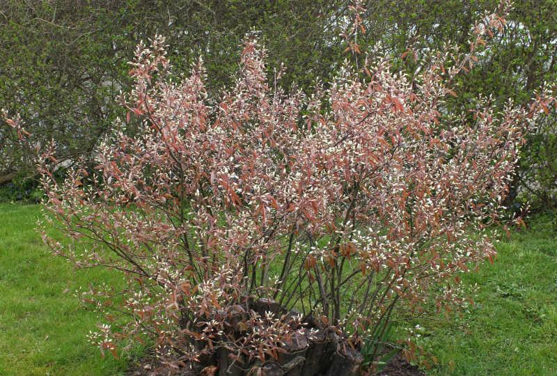 Bærmispel, spæde hvide blomster og røde blade