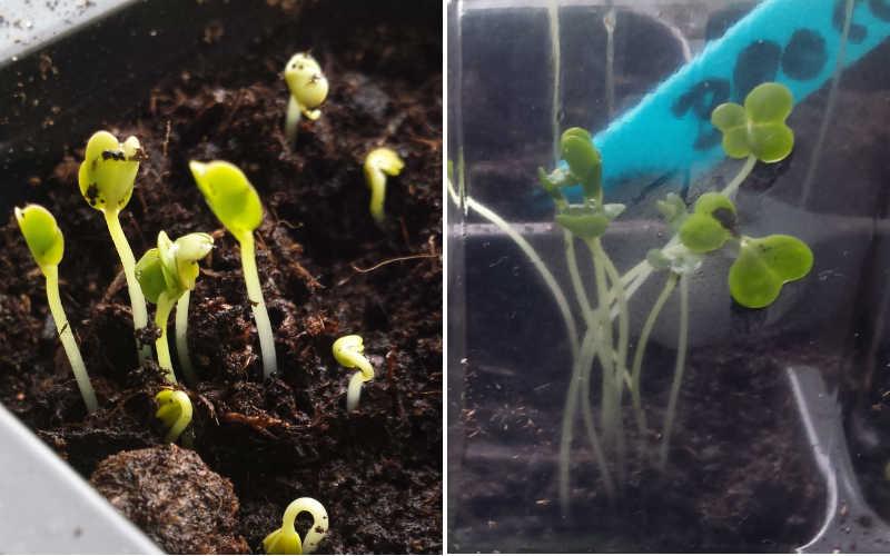 Broccoli 3 og 5 dage efter frø er sået !