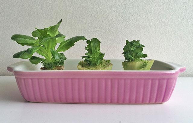 regrow salat