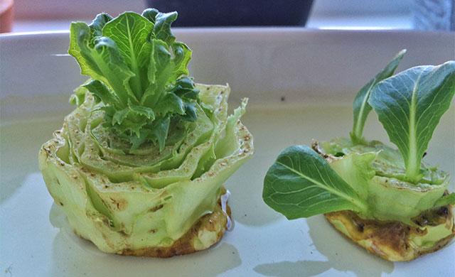 salat-dyrket-igen