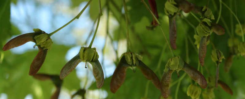 Kugleahorn / spidsløn frugter er ved at blive dannet i Maj måned
