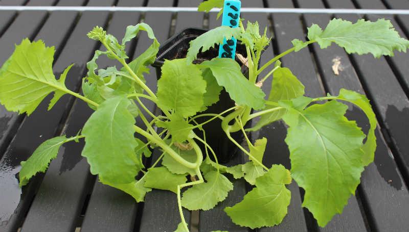 Broccoli plante før udplantning