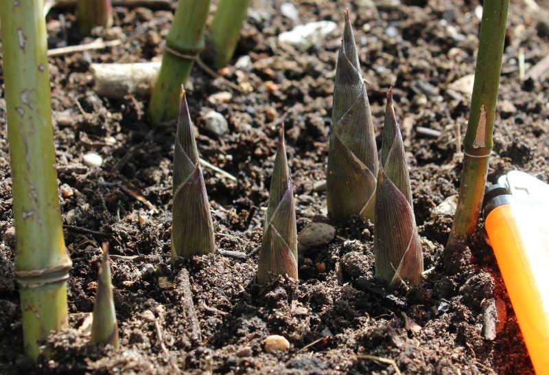 Phyllostachys nuda (Stenbambus) nye skud